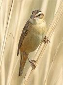 HC. Sedge warbler