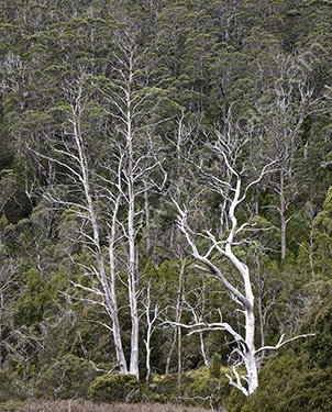 HC. Three dead trees