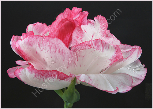 HC. Tulip Cartouche