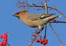 HC. Waxwing and a feast of berries