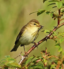 HC. Willow warbler with damsel fly