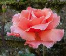 Kettlewell rose