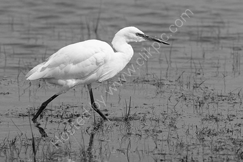 HC. Little Egret striding across a marsh