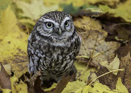 HC. Little Owl on the hunt