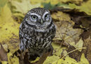 HC. Little Owl on the hunt