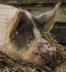 HC. Pig's eye