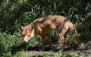 Wary fox