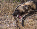 Wild dog with kill