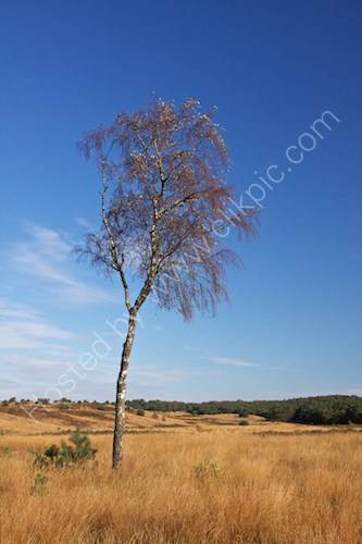 Birch on heath
