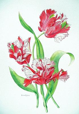 Parrott Tulips Red