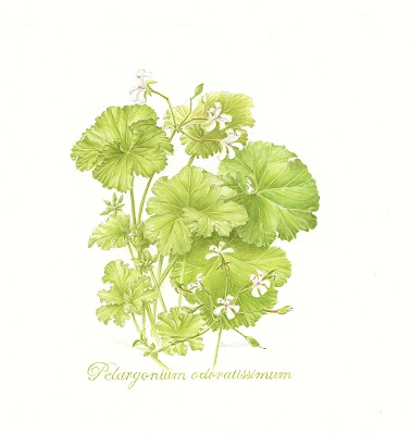 Pelargonium Ordatissimum