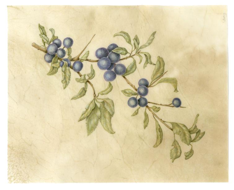 Blueberry Sprig on vellum