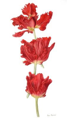 Parrott Tulips
