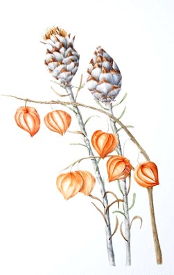 Chinese lantern and Protea