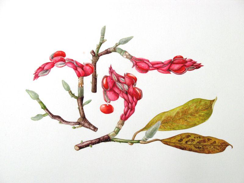 Magnolia soulangiana seedheads
