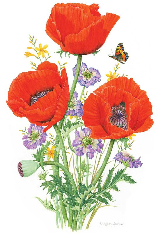 Poppies and Scabious