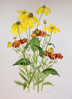 Rudbeckia laciniata and Helenium Wauldtraut