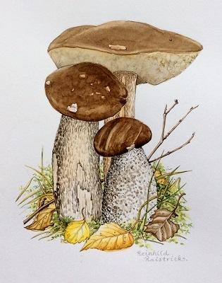 Brown Birch Bolete