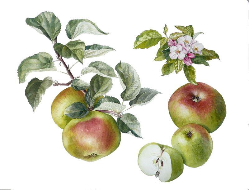 Apple Bramley's Seedling