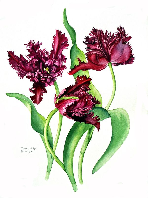 Parrot Tulips Purple