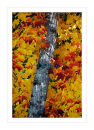 2284 Maple in Autumn