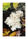 2656 Possibly Hericium
