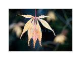 911 Acer palmatum 'Elegans'