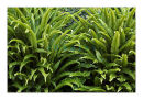 9552 Hart's tongue fern
