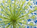 P1010077 Giant hogweed