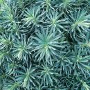 P1010554 Euphorbia stygiana