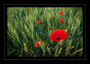 k62 Somme Poppies