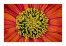 k632 Mexican sunflower