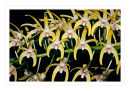k64 Dendrobium speciosum