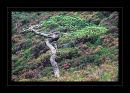 k775 Scots pine