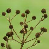 Seedhead 2