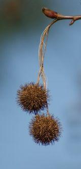 Hanging Seedheads