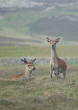 Two Sika deer