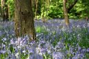 BLUEBELLS IN FIXBY WOODS