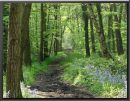 BLUEBELLS Fixby Woods