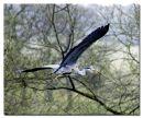Heron at Harewood
