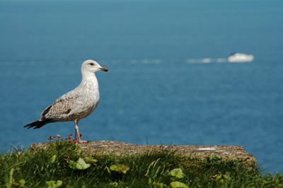 Sentry Seagull