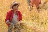 Woman in Paddy Fields