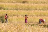Three Workers in  Paddy Fields