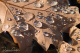 Droplets on Autumn leaf