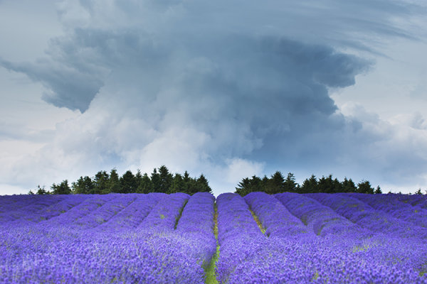 Lavender Tornado