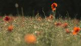 Poppies at Faringdon Folly