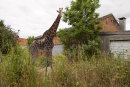 Giraffe lingers by the garage