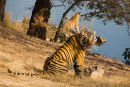 Tigers - Ranthambhore national park, Rajasthan