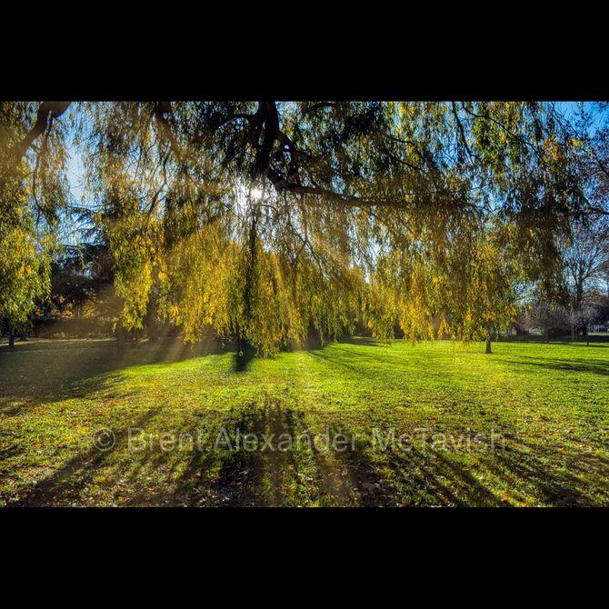 Autumn Sun through Willow Tree