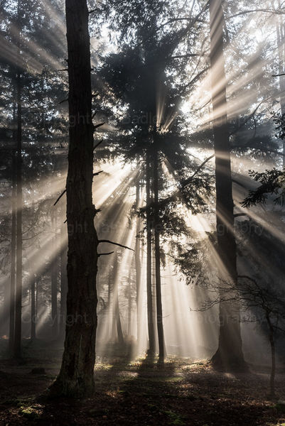 Sunburst in the trees